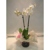 Easter Gift Orchid and Pot